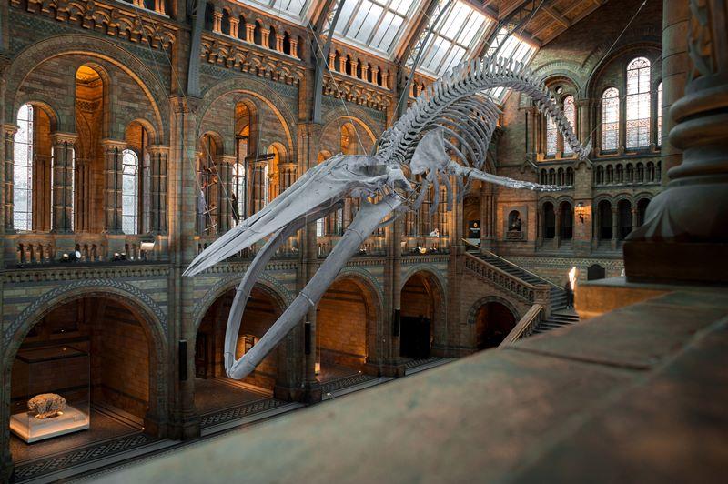 scheletro di balenottera azzurra presente al Natural History Museum