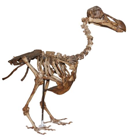 dodo_scheletro