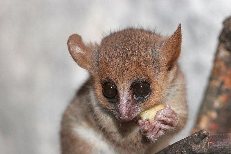 lemure microcebus