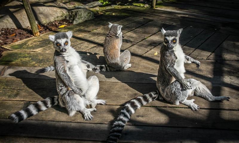 lemuri posizione loto