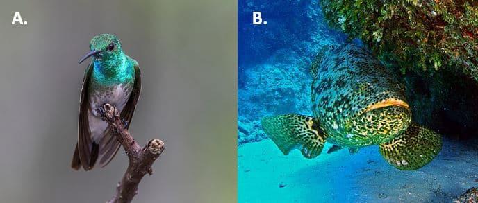 colibri_cernia_mangrovie
