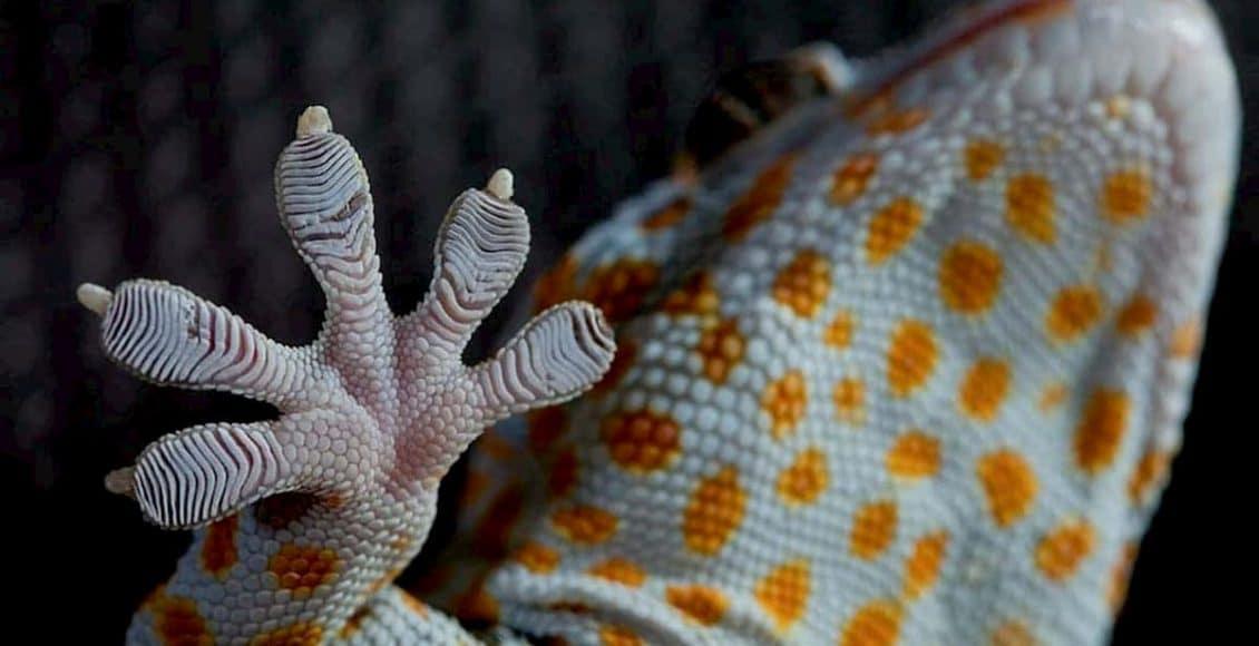 Zampe del geco
