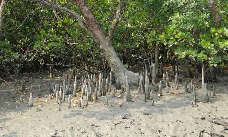 mangrovie_radici