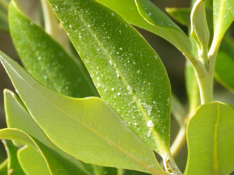sale su foglie mangrovie