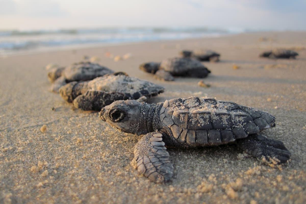 sesso delle tartarughe