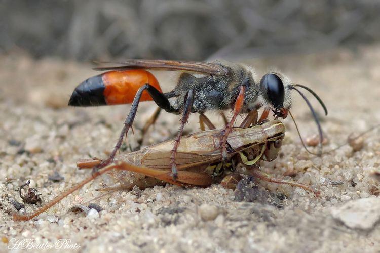 Sfecidi o vespe scavatrici