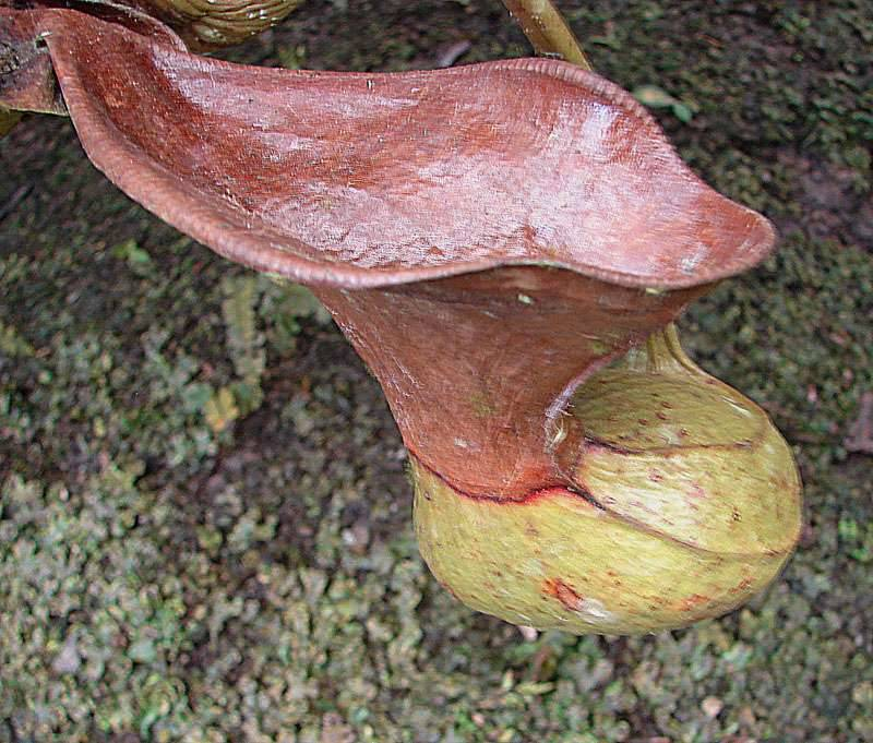 nepenthes_iowii