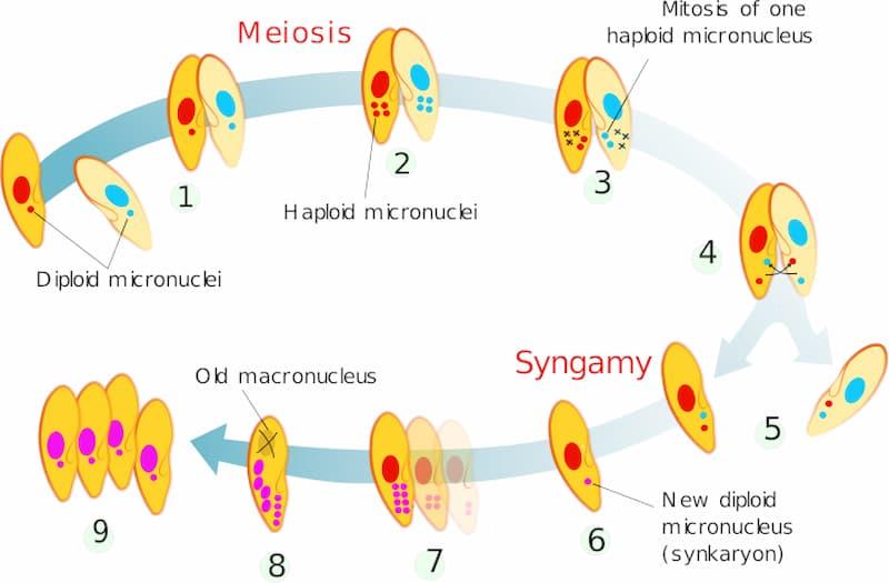 coniugazione ciliati