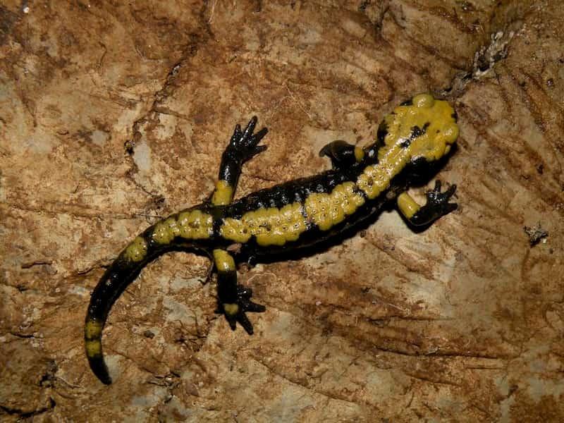 salamandra di aurora morfologia