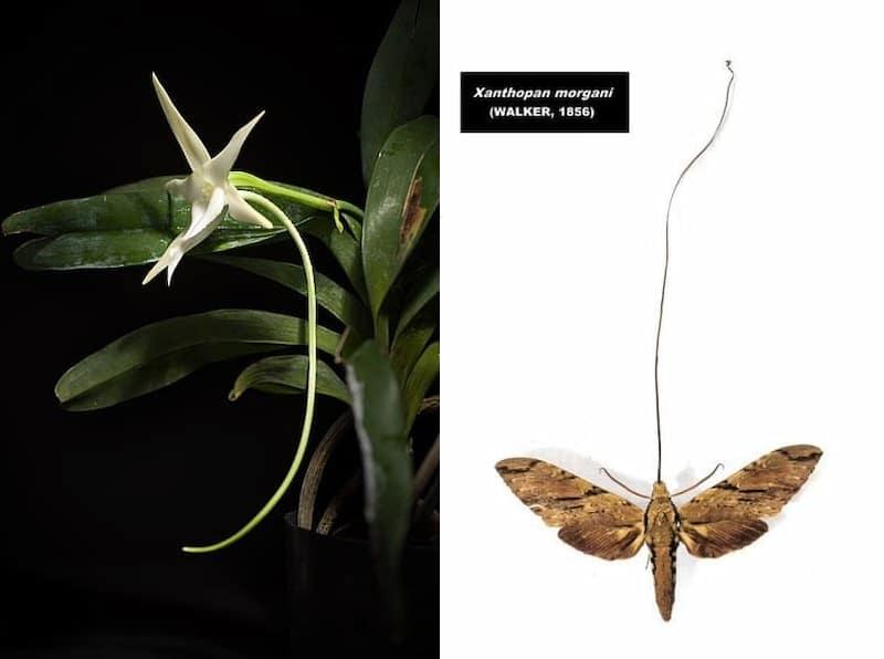 Angraecum sesquipedale xanthopan morganii