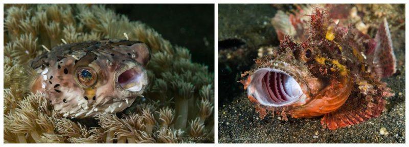 Pesce istrice e scorpena che sbadigliano