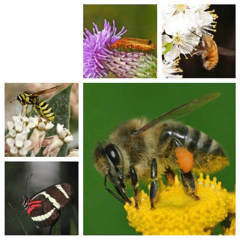 insetti impollinatori diversità
