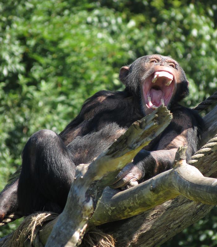 Scimpanzé che sbadiglia