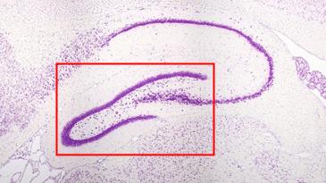 La neurogenesi ippocampale adulta avviene nel giro dentato dell'ippocampo
