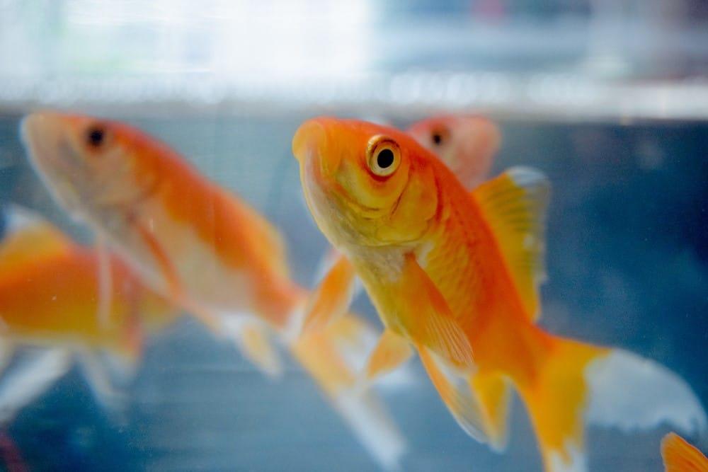 memoria dei pesci