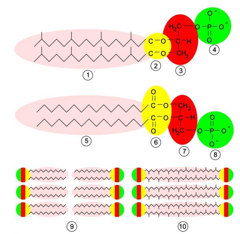Differenze tra la membrana degli archaea e quella dei batteri