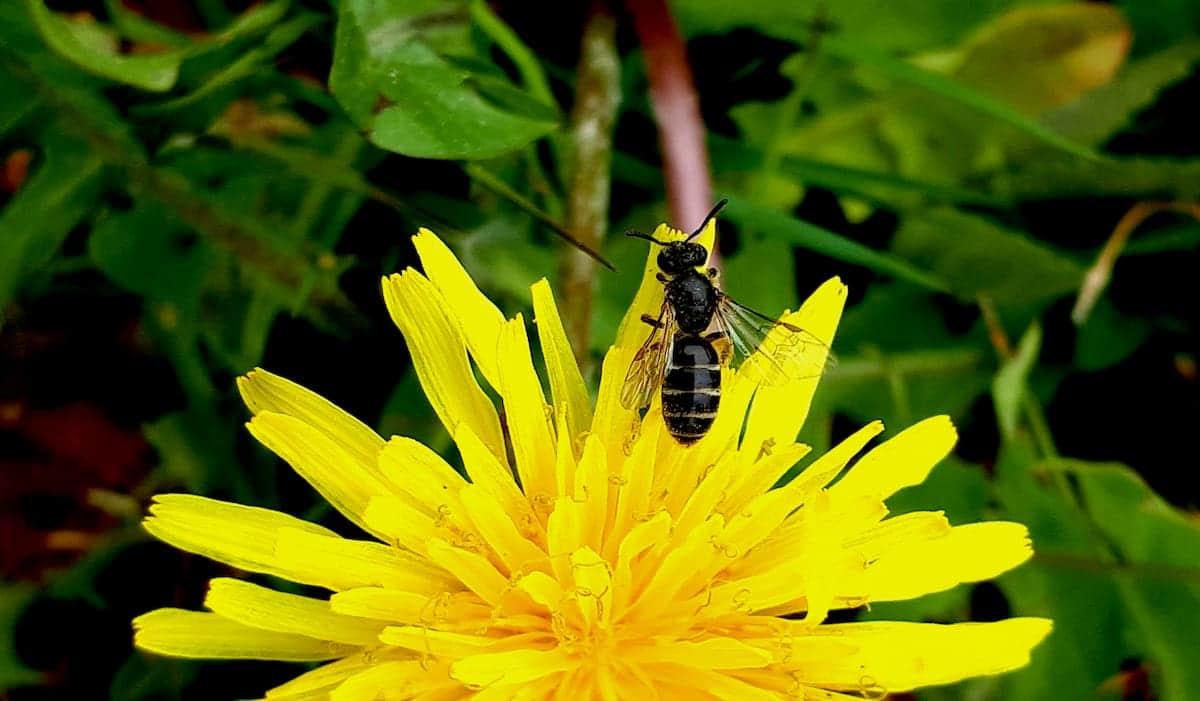 api selvatiche e giardinaggio bee-friendly