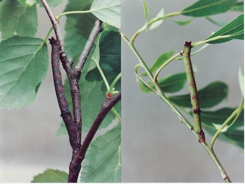 biston betularia bruchi