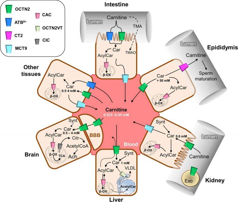 Traffico carnitina nella cellula