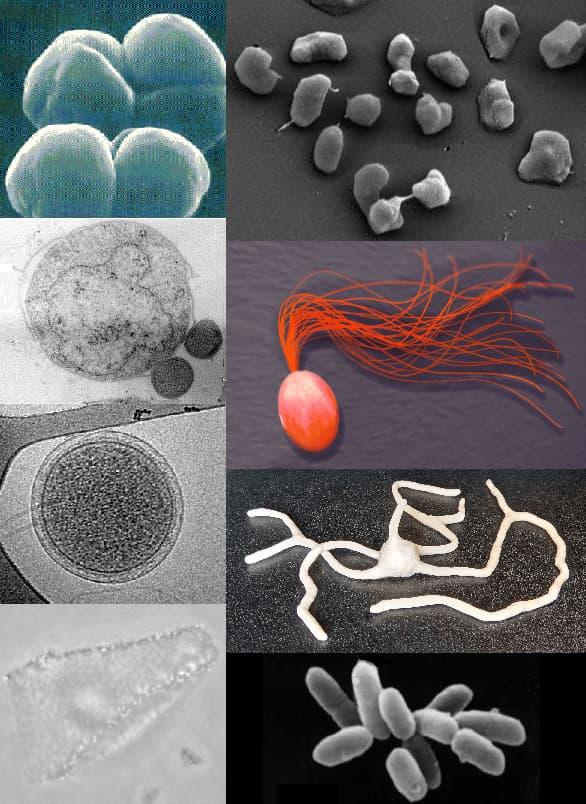 diverse morfologie degli archaea