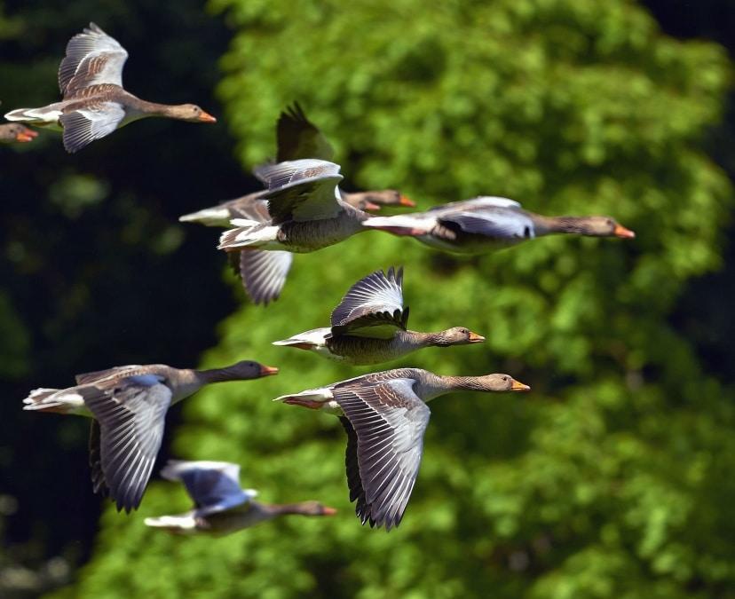 Il gene CLOCK regola la migrazione negli uccelli