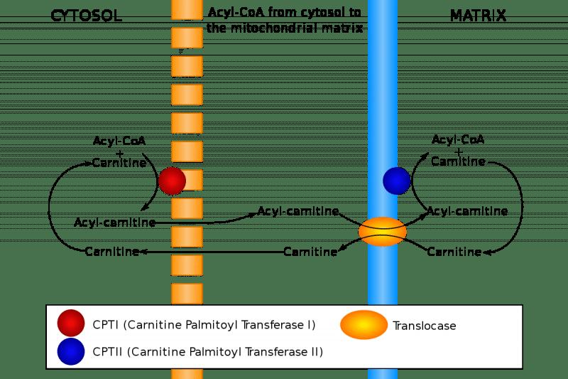 Palmitoiltransferasi