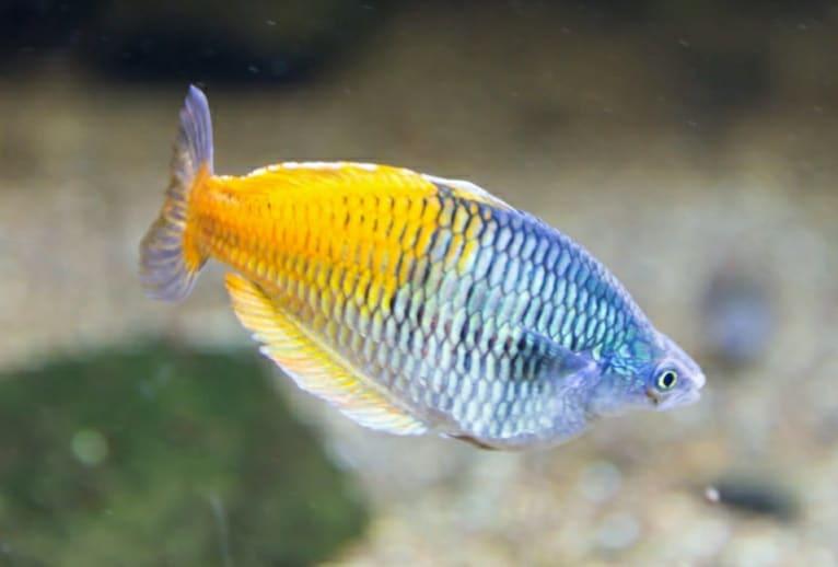 Il pesce arcobaleno ha un'ottima memoria
