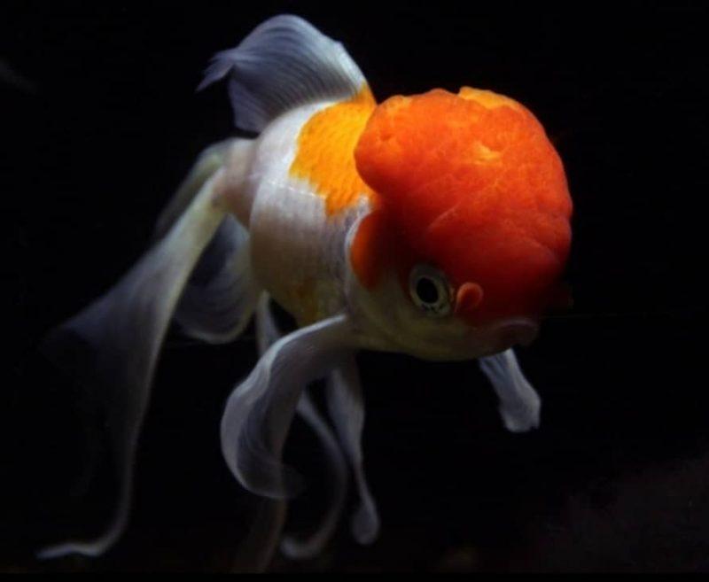 Pesce rosso cervellone