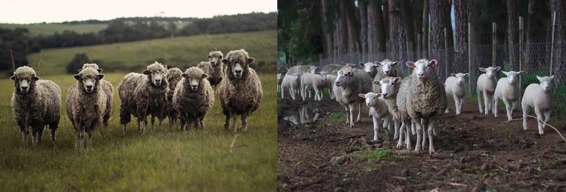Gruppi di pecore