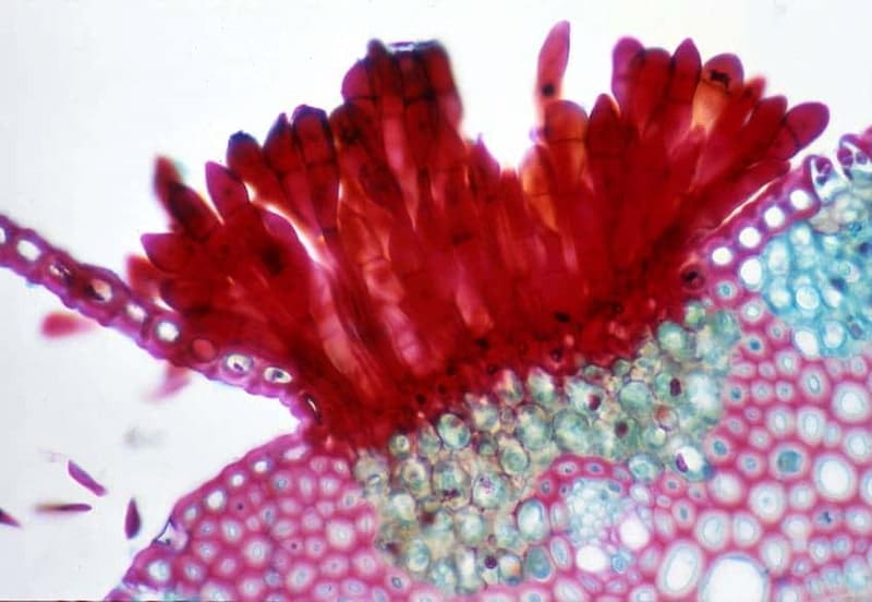 galle piante microscopio