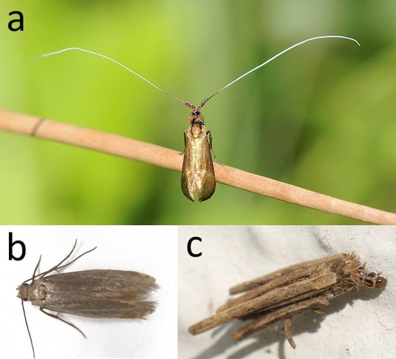 lepidotteri adelidi psichidi tineidi