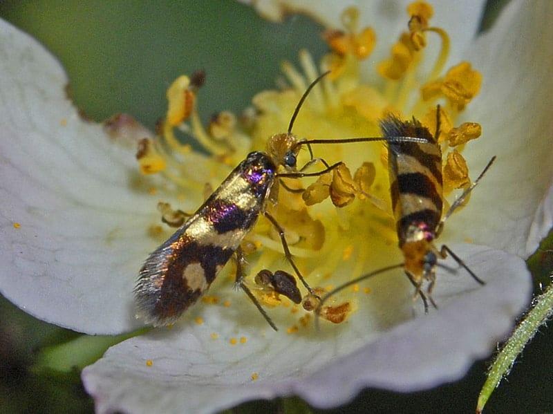 lepidotteri micropterigidi