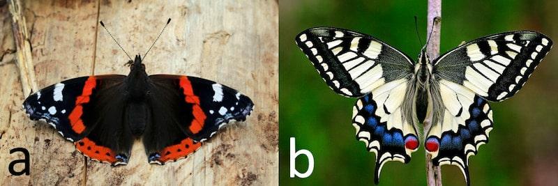 lepidotteri ninfalidi papilionidi