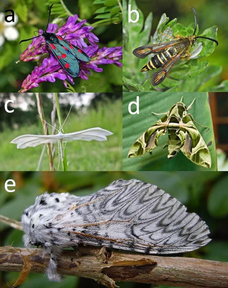 lepidotteri zigenidi sesidi pteroforidi sfingidi notodontidi