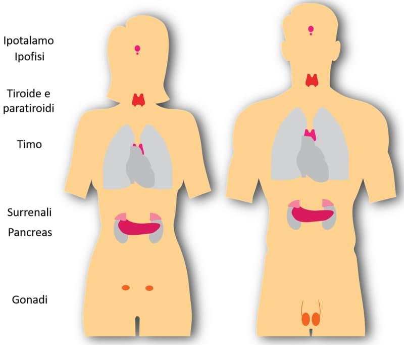 Rappresentazione schematica delle principali ghiandole endocrine