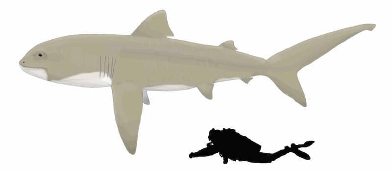 megamouth dimensioni